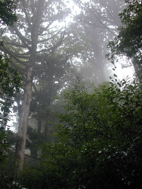 Forest heights, mist of Yakushima