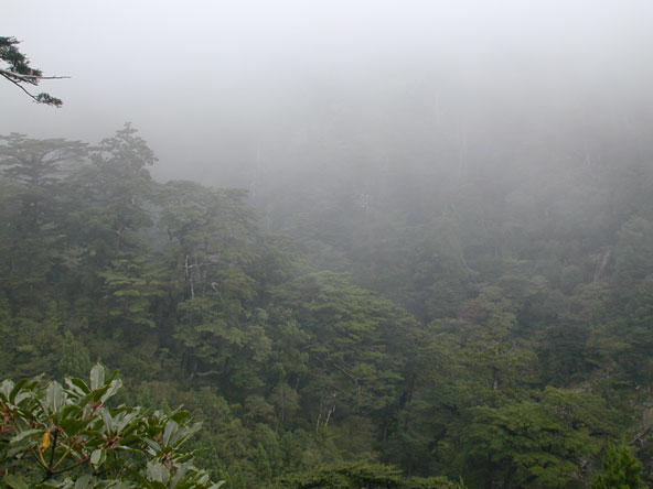 Misty Yakushima Forest
